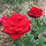Due esemplari di rose rosse.