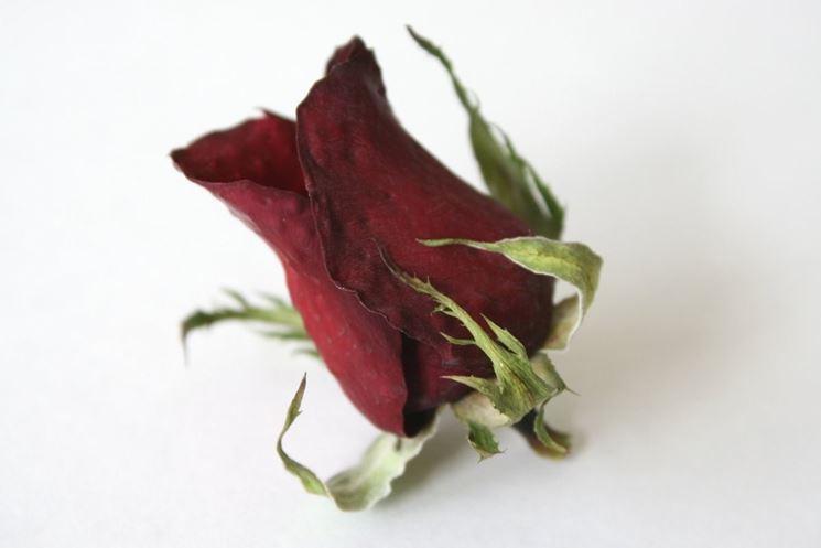 Esempio di rosa secca.