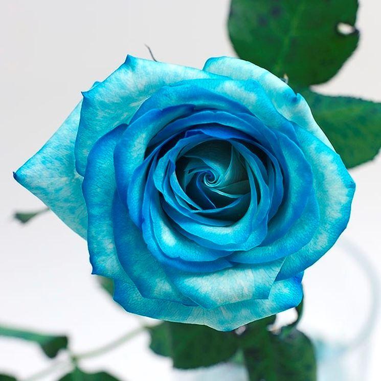 Si noti come il pigmento si sia depositato nei petali.