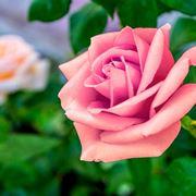significato rose