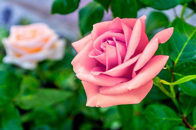 una rosa rosa