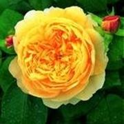 colori rose