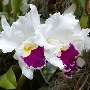 significato orchidea