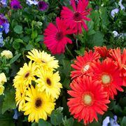 Giardino di colorate gerbere