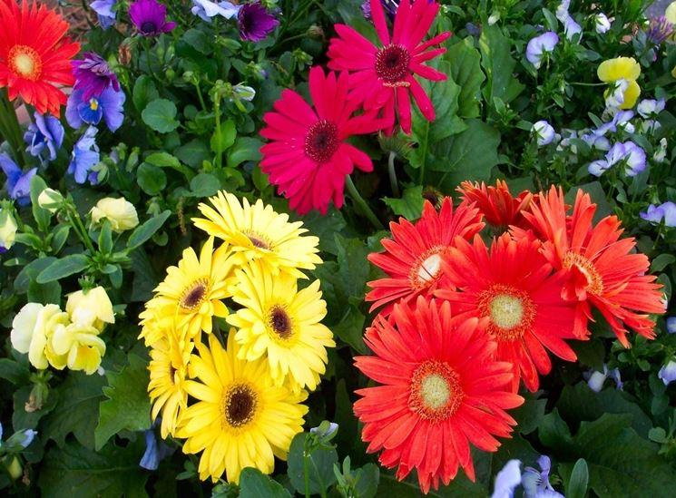 Significato dei fiori significato fiori conoscere il for Fiori gerbere
