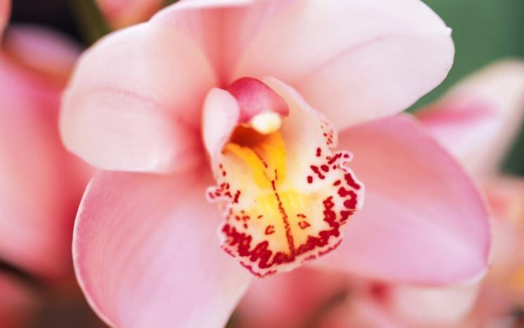Stupenda orchidea rosa