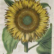 Illustrazione botanica di un Helianthus Annuus
