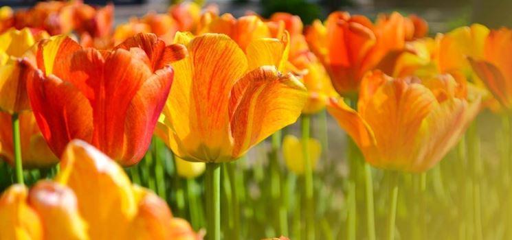 Campo di tulipani rosso-arancio