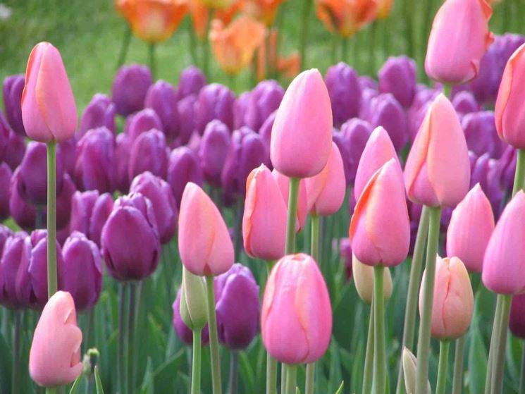 Giardino di tulipani colorati