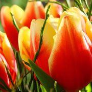 tulipano fiore