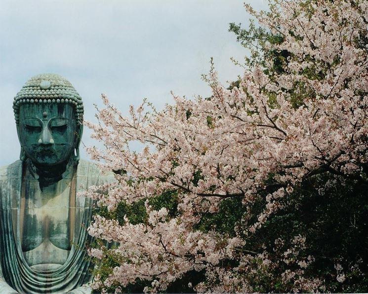 Buddha e i fiori di ciliegio