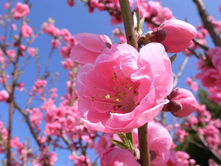 Significato fiori di pesco significato fiori for Fiori con la p