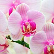 significato dei fiori orchidea