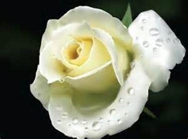 Rosa bianca con gocce di rugiada