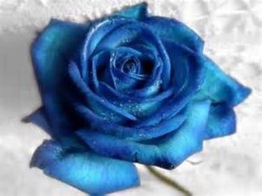 Rosa blu dalle sfumature degradé