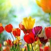 Tulipani al sole