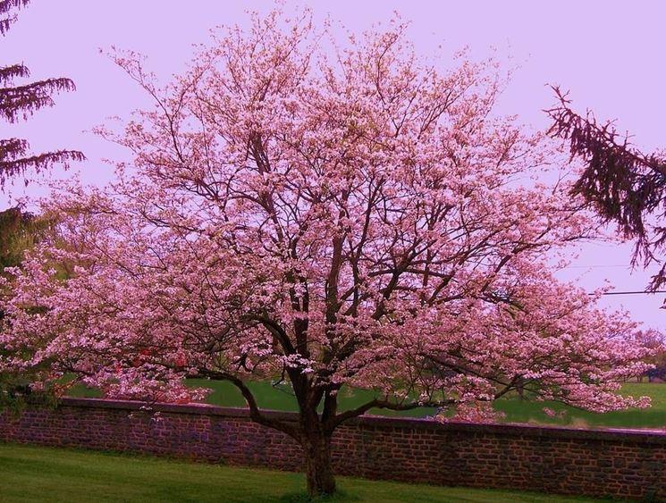 significato alberi, il mandorlo