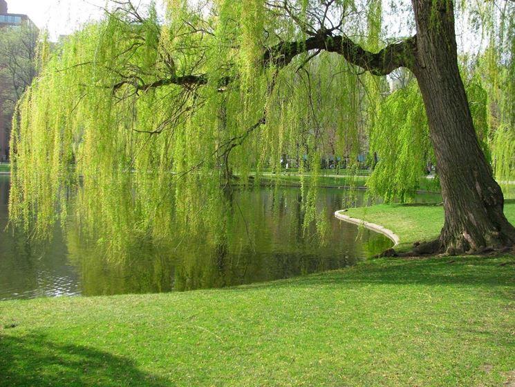 significato alberi, il salice