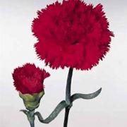 garofano rosa