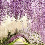 Glicine viola, Giappone.