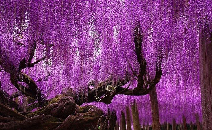 Glicine secolare in Giappone