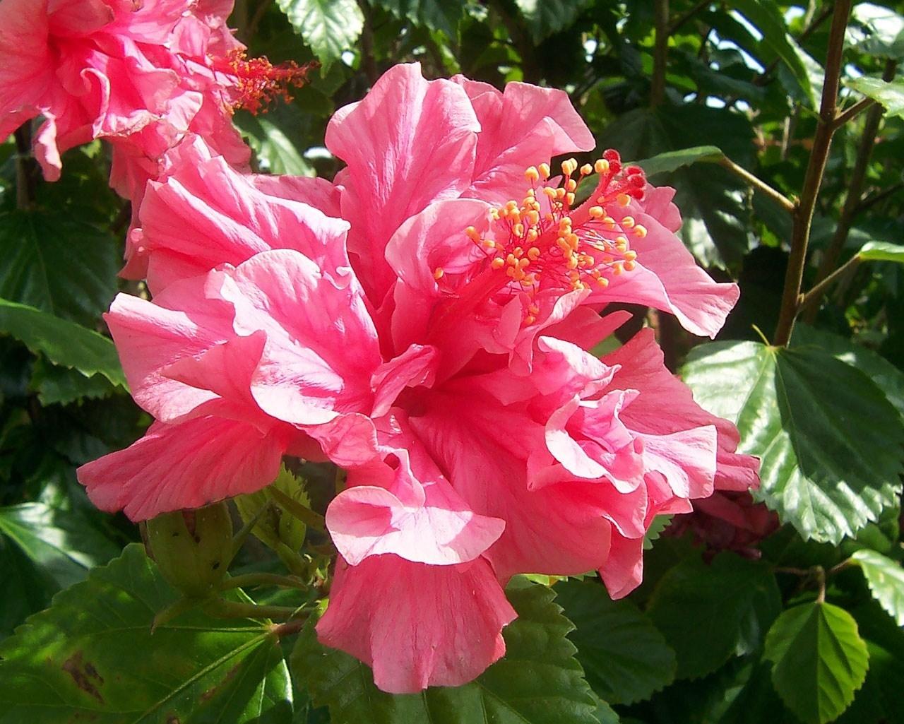 Significato ibisco - Significato fiori - Significato ibisco - fiori
