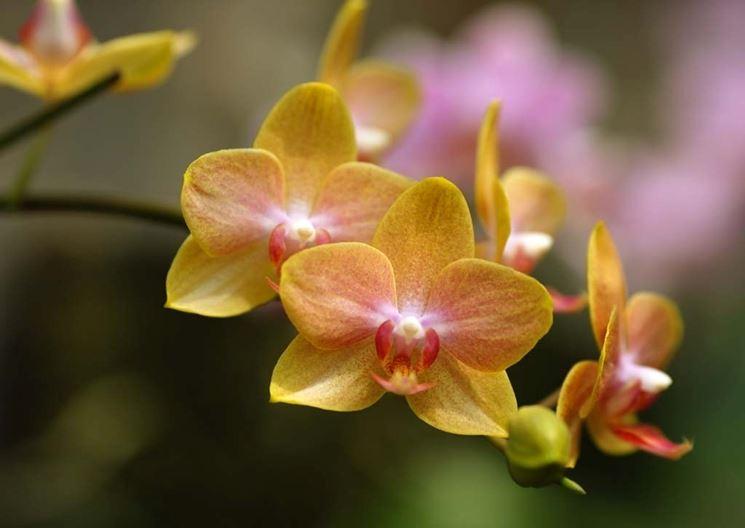 Orchiea gialla