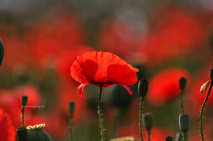 La Credenza Significato : Significato papavero rosso fiori del