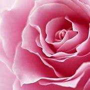 primo piano corolla di una rosa rosa