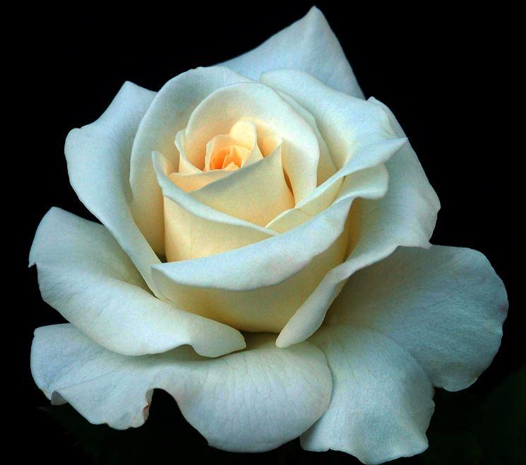 Esemplare di rosa bianca