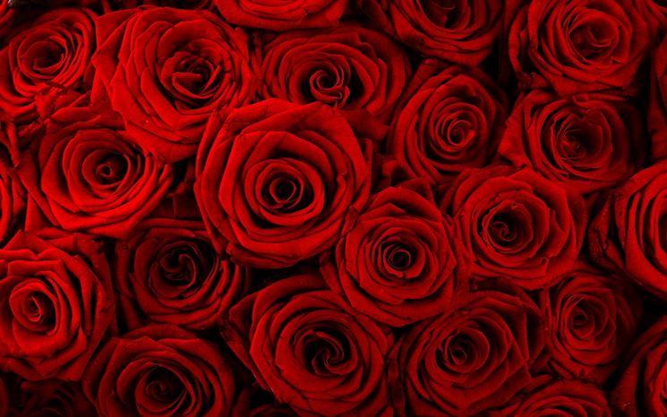 Esemplari di rose rosse