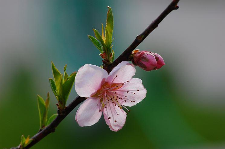 ramo con fiore di pesco