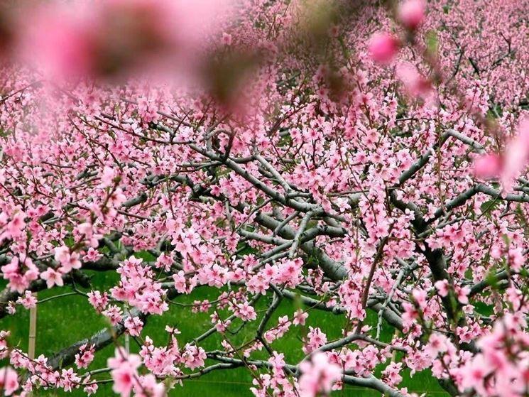 arbusto fiori di pesco