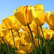 un campo di tulipani gialli