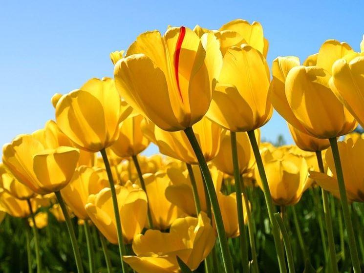 Sognare Fiori Gialli.Tulipani Gialli Significato Fiori Tulipani Gialli Significato