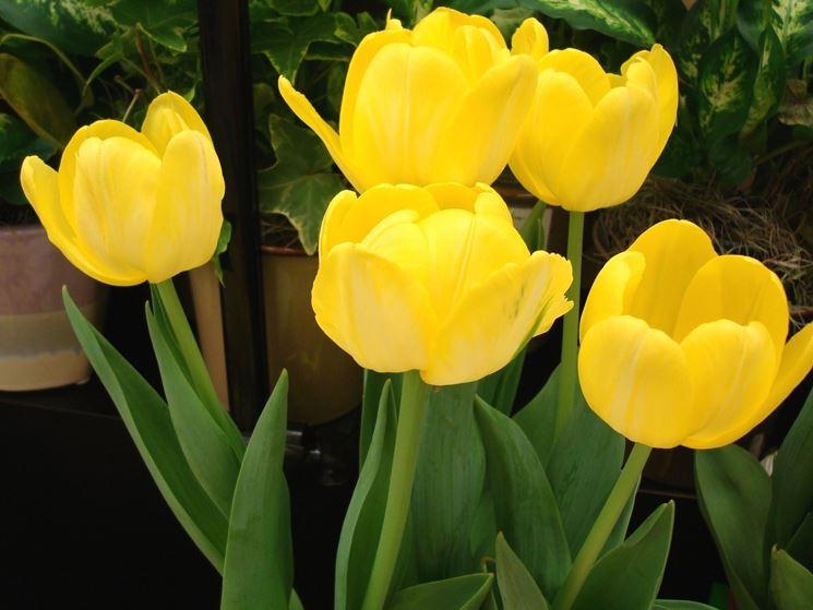 cinque tulipani gialli