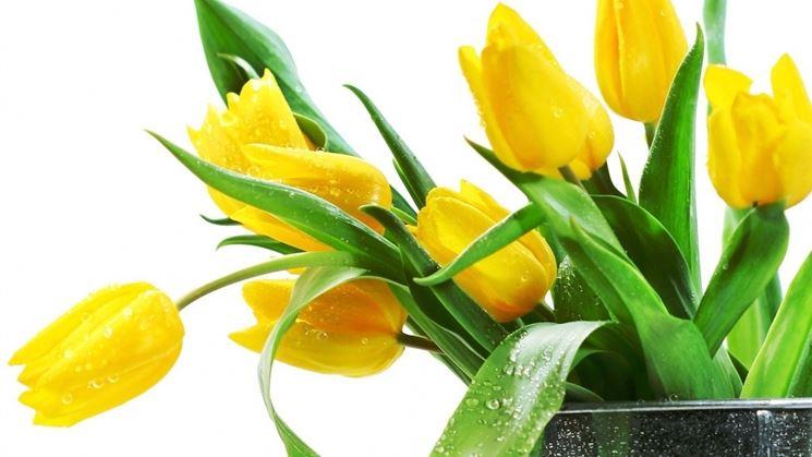tulipani gialli bagnati di brina
