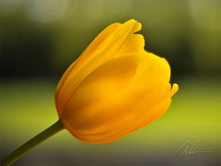 il primo piano di un tulipano giallo