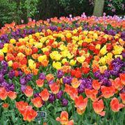 una distesa di tulipani