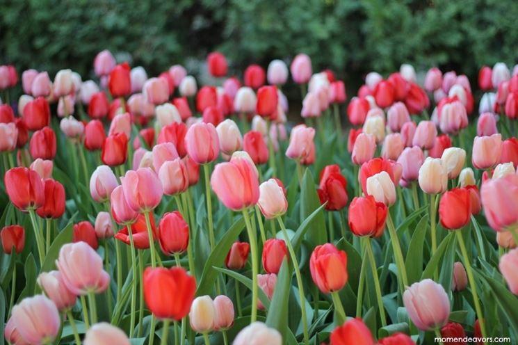 tulipani rosa e tulipani rossi