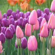 tulipani bianchi significato