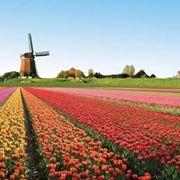 Un campo di tulipani in piena fioritura