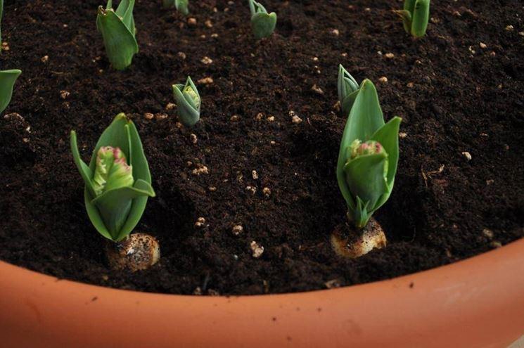 Bulbi di tulipano coltivati in vaso