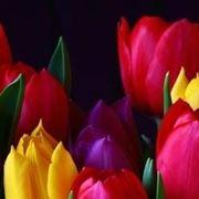 significato tulipani