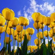 significato dei fiori tulipano