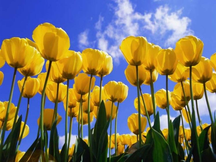 campo di tulipani gialli