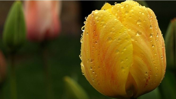 tulipano giallo rugiada