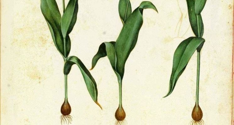 Disegno botanico che illustra alcune varietà di tulipano