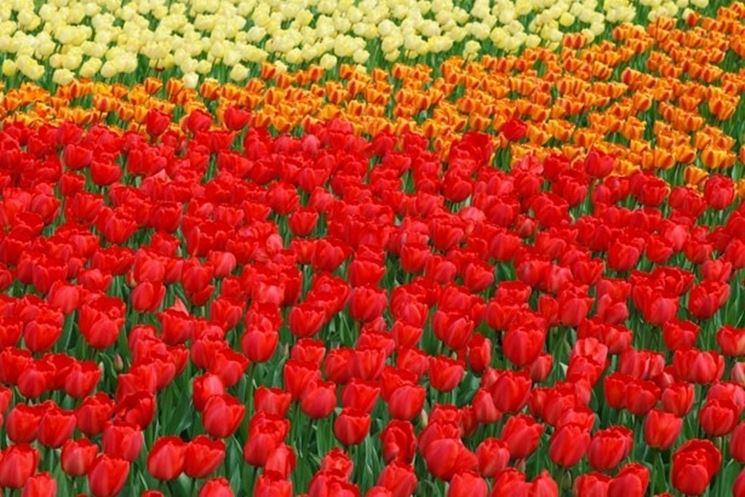 Tulipani rossi in primo piano