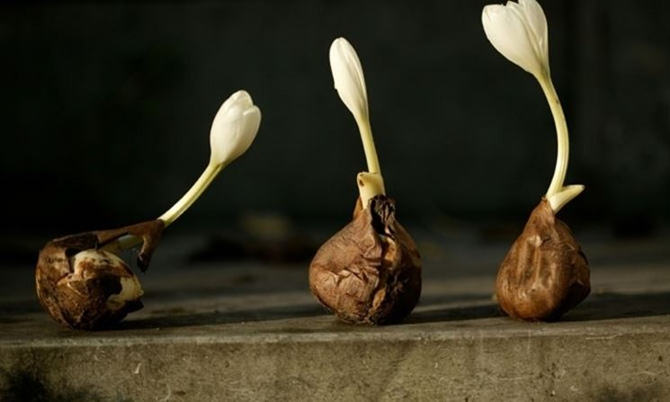 Bulbi di tulipano da cui sta sbocciando il fiore